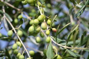 Grüne Oliven aus Italien